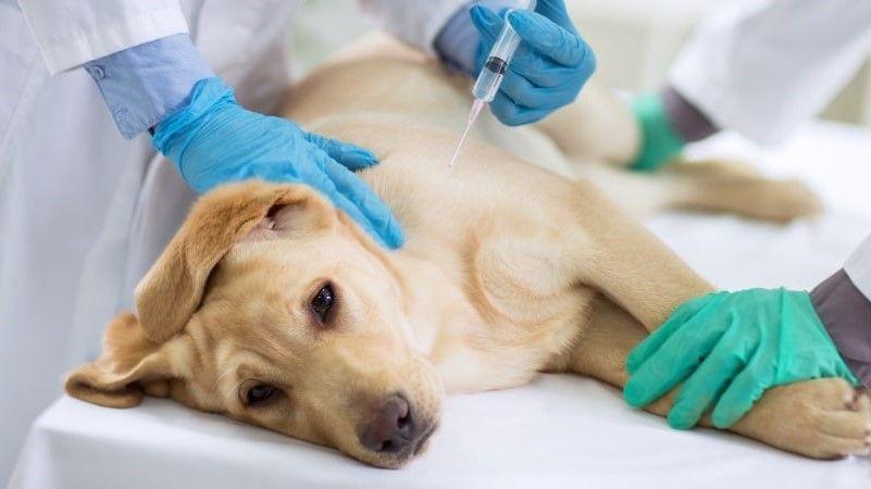 perro amarillo en el veterinario