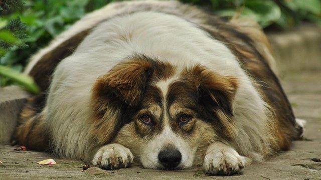 Perro obeso sentado en el piso