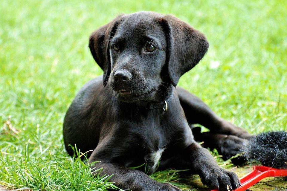 Perro labrador negro echado en el pasto