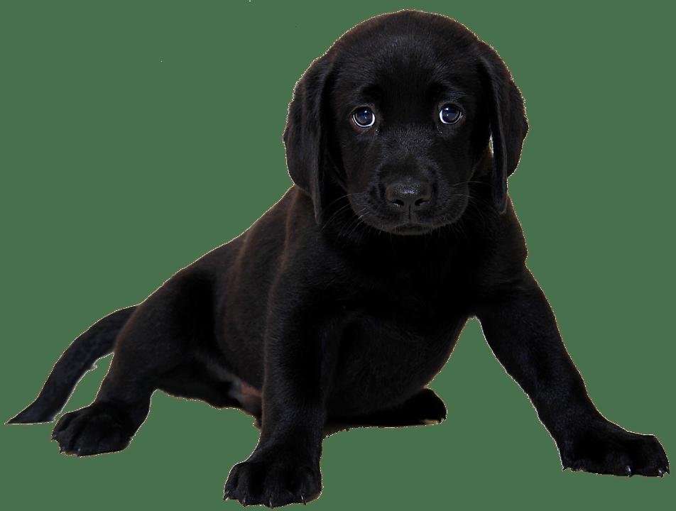 Perro labrador negro sentado