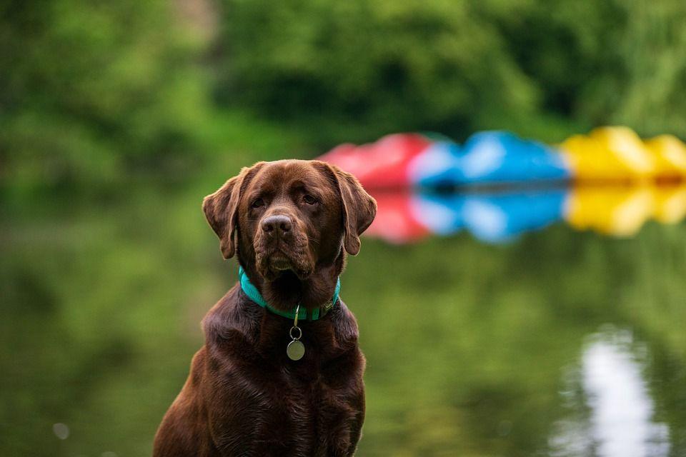 Perro labrador de color chocolate con una medalla en collar con fondo de agua