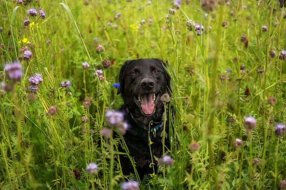 Perro labrador negro mirando en un campo de flores