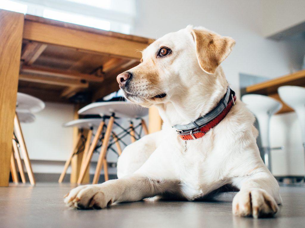 Perro labrador con collar