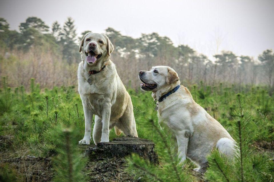 dos perros labradores amarillos