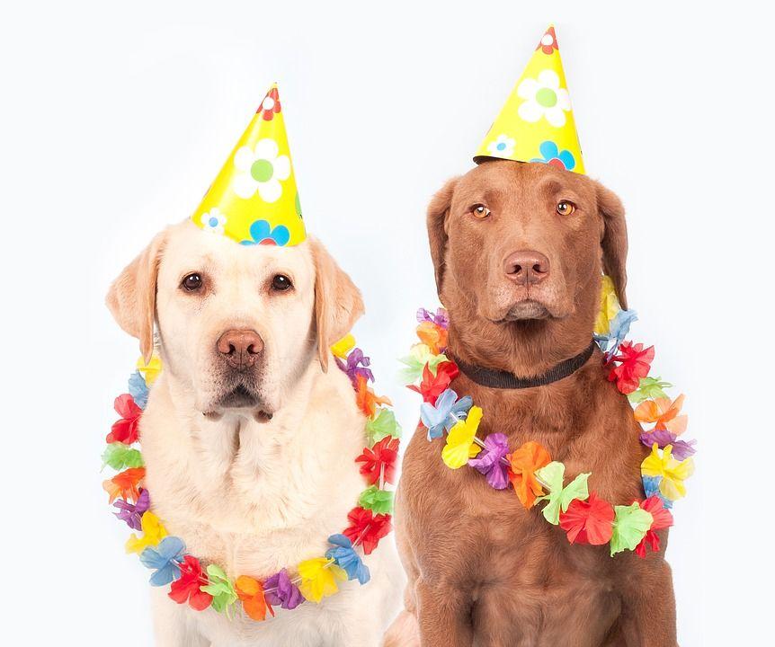 dos perros labradores celebrando su cumpleaños