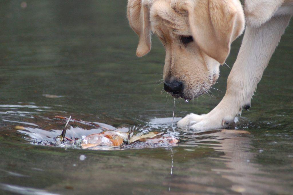 Perro labrador mirando el agua