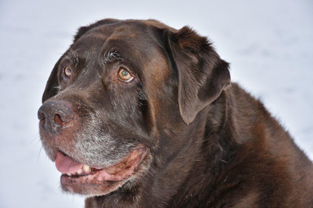 Perro labrador viejo con canas en la cara