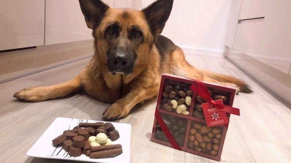Perro sentado esperando comer chocolates en un plato